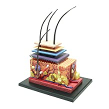 No.18 skin anatomy model Skynet three-dimensional puzzle 4D VISION Human Anatomy (japan import)