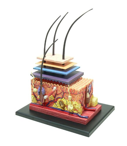 No.18 skin anatomy model Skynet three-dimensional puzzle 4D VISION Human Anatomy (japan import) by Aoshima