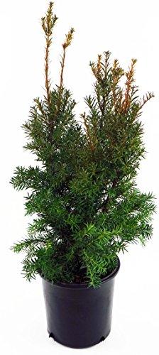 Taxus x media 'Hicksii' (Hicks Yew) Evergreen, #3...