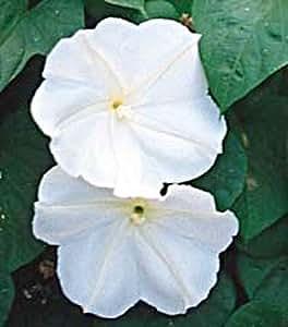 Giant White Moonflower 20 Seeds/Seed Ipomoea alba