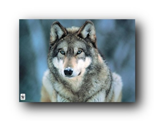 Pyramid Grey Wolf Poster Print product image