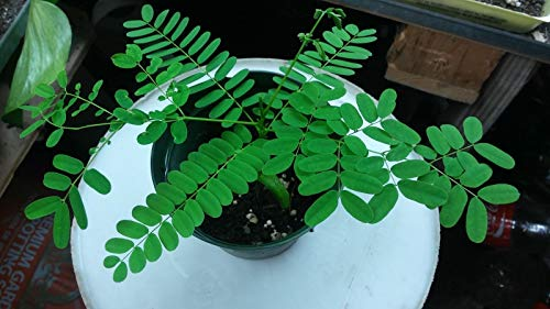 - Jacaranda Mimosifolia (FLAMBOYAN RED) Tree Live 4''-8''