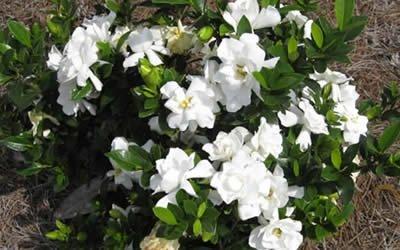 Superieur 1 Starter Plant Of Jubilation Gardenia