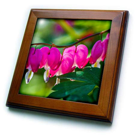 3dRose Alexis Photography - Flowers Bleeding Heart - Curved line of pink bleeding heart flowers. Green leaves - 8x8 Framed Tile (ft_288816_1) - Heart Leaf Wall Tile