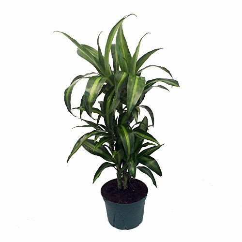 House Plants Dracaena - 6