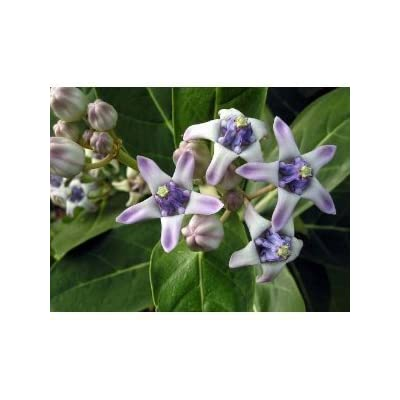 Calotropis gigantea Giant Milkweed Crown Flower 5 seeds: Toys & Games