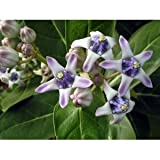 Calotropis gigantea Giant Milkweed Crown Flower 5 seeds
