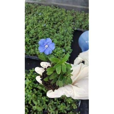 """2 Live Plants on 4"""" Pot - Blue Daisy Aster Wild Perennnial Flower : Garden & Outdoor"""