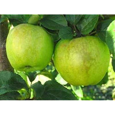 "Antonovka Apple, Malus Domestica ""Antonovka"", Tree Seeds (20 Seeds) : Garden & Outdoor"