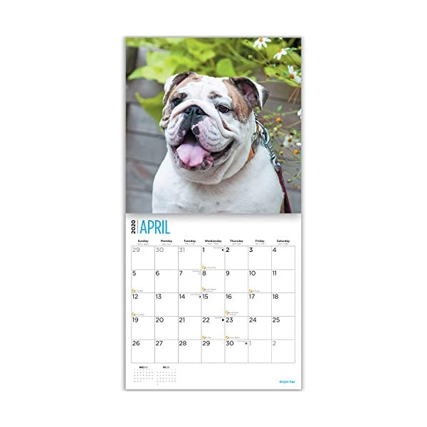 2020 Bulldogs Wall Calendar by Bright Day, 16 Month 12 x 12 Inch, Cute Dogs Puppy Animals English British 7