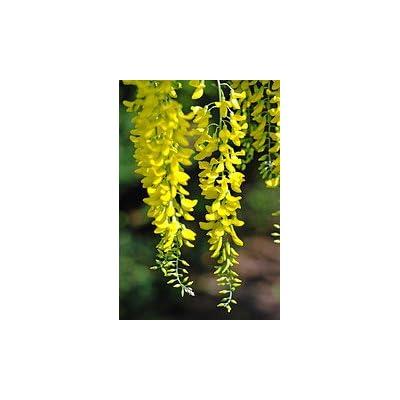 Golden Chain Tree 2 - Year Tree : Flowering Plants : Garden & Outdoor