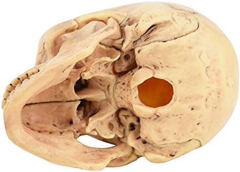 人間の頭蓋骨モデル、頭蓋骨モデルの解剖学的モデルは15の部分に分割できます