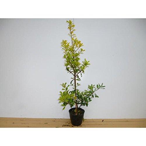 【5本セット】 サニーフォスター 樹高0.8m前後 18cmポット 黄色の葉がきれい 特価販売生垣用 苗木 植木 苗 庭木 生け垣 B014U5B3Y2