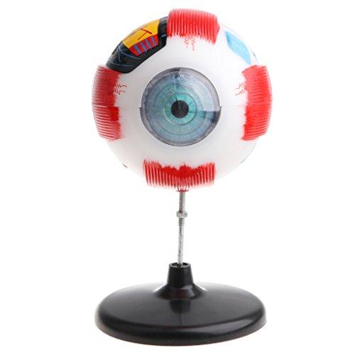 Baoblaze 5X Magnification Human Eye Ball Anatomy Model Anatomical Study Tools free shipping