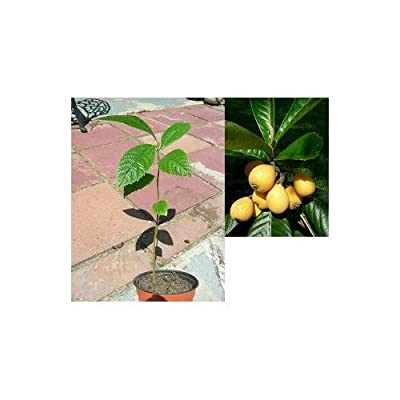 1 Loquat Sapling (Eriobotrya Japonica) Japanese Plum~Edible Fruit~ Baby/Starter/Tree 1-2Yr : Garden & Outdoor
