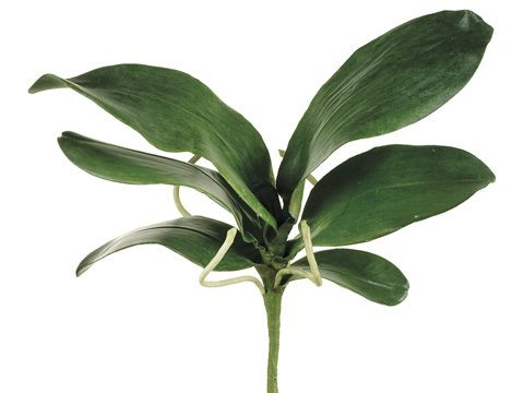 Spray Phalaenopsis (15