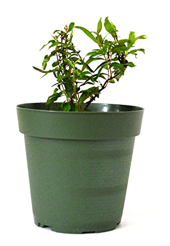 9GreenBox - Dwarf Pomegranate Tree - 4'' Pot