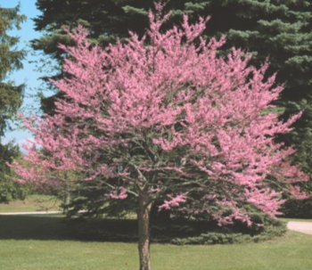 Cercis canadensis Eastern Red Bud Fast, Showy, Fall Color Tree Seeds