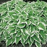 Hosta undulata 'Albomarginata' 15cm Pot Size