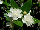6 graines de Myrte Parfumé(Myrtus Communis)G163 MYRTLE SEEDS SAMEN SEMI SEMILLAS