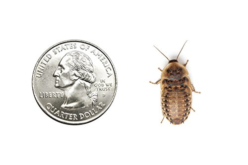 Live Dubia Roaches for Feeding Reptiles (100, Medium Mix 1/2