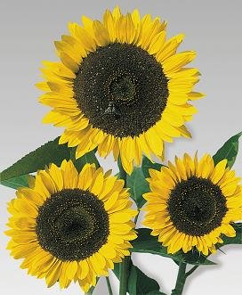 - Helianthus (Sunflower) Cutting Gold 1,000 seeds