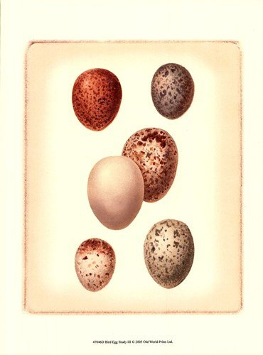 Bird Egg Study III by Vision Studio - 9.5x13 Inches - Art Print - Bird Studio Vision Study Egg