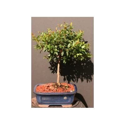 Brush Cherry Bonsai : Bonsai Plants : Grocery & Gourmet Food