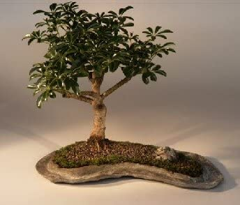 Amazon Com Bonsai Boy S Hawaiian Umbrella Bonsai Tree On A Rock Slab Arboricola Schefflera Luseanne Home Kitchen