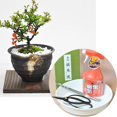かわいいミニ長寿梅の盆栽とはじめて道具セット B00W6V0T5W