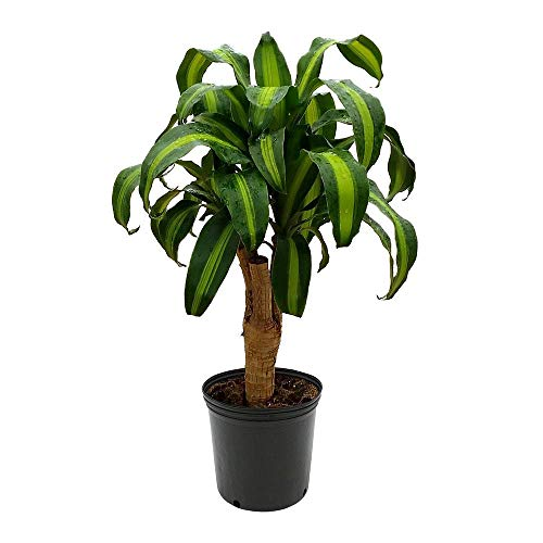 AMERICAN PLANT EXCHANGE Dracaena Corn Massangeana Worry Free Live Plant, 6″ Pot, Top Indoor/Outdoor Air Purifier