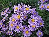 Aster amellus Lilac Star Perennial Flowers Seeds 250 Pcs an