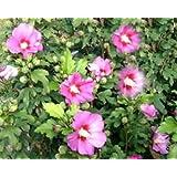 Hibiscus syriacus 'Woodbridge' - (Hibiskus - Garteneibisch 'Woodbridge')- Containerware 40-60 cm