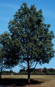 Fraxinus americana: American White Ash Seeds