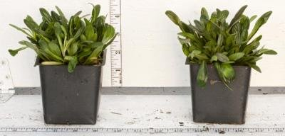 Classy Groundcovers - Bugleweed 'Chocolate Chip' 'Valfredda', A. tenorii {25 Pots - 3 1/2 in.} by Classy Groundcovers (Image #6)