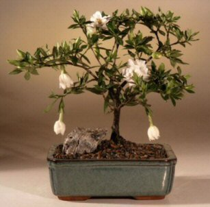 Bonsai Boyu0027s Flowering Gardenia Bonsai Tree   Medium Gardenia Jasminoides