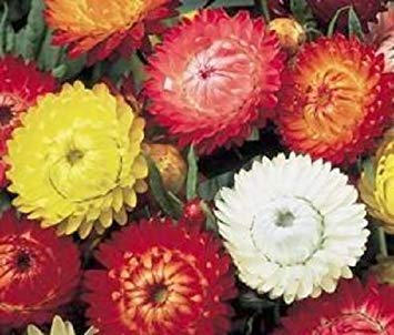 100 TALL DOUBLE MIXED COLORS STRAWFLOWER Helichrysum Monstrosum Flower Seeds ()