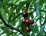 9EzTropical - Capulin Cherry - 1 Plant - 3 Feet Tall - Ship in 1 Gal Pot