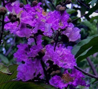 PURPLE VELVET Miniature Crape Myrtle, Pack of 5, Darkest Purple Flower Available, Matures 4'-5' (1'-1.5' When Shipped, Well Rooted with Pots in Soil) by The Crape Myrtle Company (Image #2)