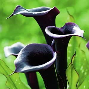 Amazon Com 5 Black Star Calla Lily Bulbs Garden Outdoor