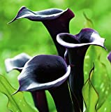 5 Black Star Calla Lily Bulbs