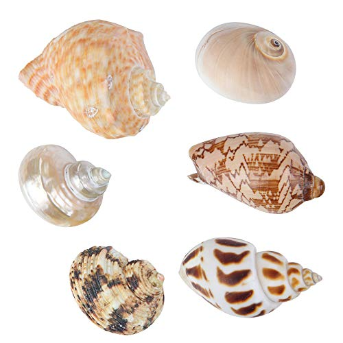 Large Hermit Crab Shells for Adult Crabs,6 Pack Different Types Natural Seashells No Painted Changing Shells Growth Shell,1 to 2 inch Opening - Shell Width