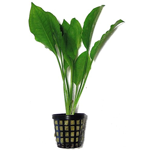 SubstrateSource Echinodorus bleheri Small Amazon Sword Live Aquatic Aquarium Plant (Small) by SubstrateSource