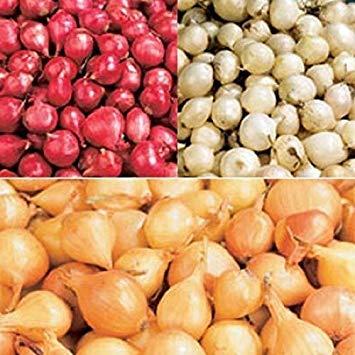 Shoppy Star: Cebolla Establece rojo, amarillo, blanco o mezcla (40 bulbos) Huerta (rojo)