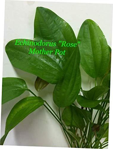 NQA M025 Live Fresh Water Aquatic Plant Echinodorus 'Rose' Mother Pot - RK246