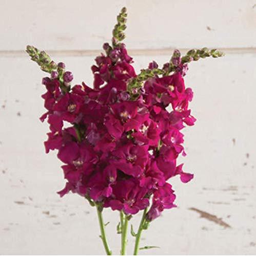 (David's Garden Seeds Flower Snapdragon Chantilly Purple SL3857 (Purple) 50 Non-GMO, Hybrid Seeds)