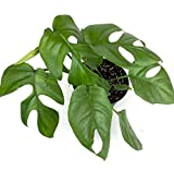 SmartMe Live Plant - Mini Monstera