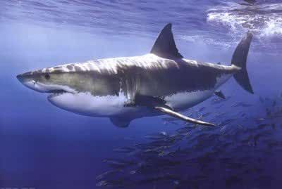 Great White Shark Poster 36 x 24in by Poster Revolution
