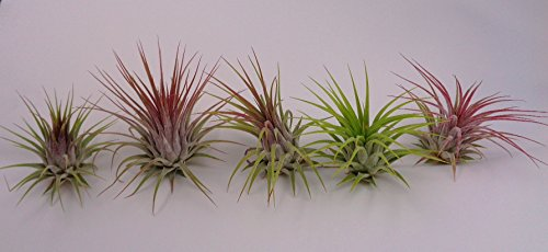 10 Pack Tillandsia Ionantha Guatemala by CTS Air Plants by CTS Air Plants