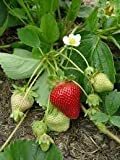10 Seascape Everbearing Strawberries Plants - (Pack of 10 Bare Roots for $9.95) Organic Grown USA